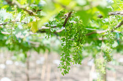 Little green grape on blur background. In grape farm Royalty Free Stock Images