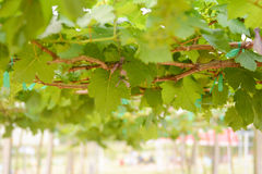 Little green grapes in vineyard Stock Photo