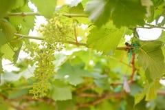 Little green grapes in vineyard Stock Photos