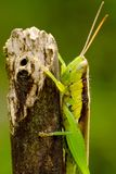 Little green grasshoper hanging peacefully Stock Photos