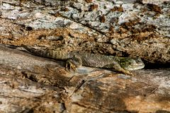 Little green gray dotted lizard reptile lying on a tree trunk. Small green lizard on big brown tree trunk in the wild nature. Little green gray dotted lizard Royalty Free Stock Images