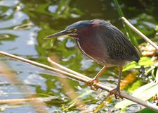 Little Green Heron Stock Photography
