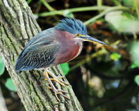 Little Green Heron Royalty Free Stock Image