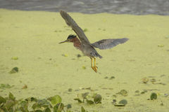 Free Little Green Heron Flying Over Swamp Vegetation In Florida. Royalty Free Stock Images - 94839859