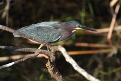 Little Green Heron Hunting In The Florida Everglades. Stock Photography