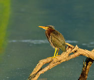 Little Green Heron Royalty Free Stock Images