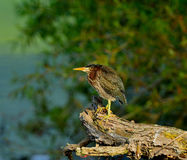 Little Green Heron Stock Photo