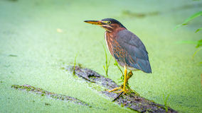 Little Green Heron on a log looking for food Stock Photos