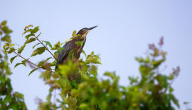 Little Green Heron Perched High In A Tree Royalty Free Stock Photo