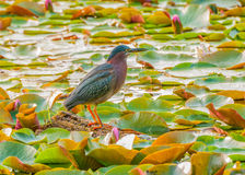 Little Green Heron Royalty Free Stock Photos