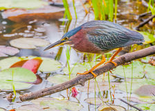 Little Green Heron Royalty Free Stock Photography