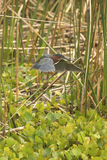 Little green heron perched in reeds at Orlando Wetlands Park. royalty free stock image