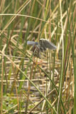 Little green heron perched in reeds at Orlando Wetlands Park. royalty free stock photography