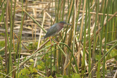 Little green heron perched in reeds at Orlando Wetlands Park. stock photo
