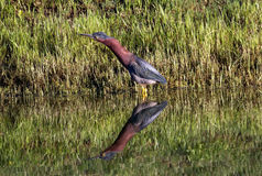 Little Green Heron with pond Reflection Royalty Free Stock Photos