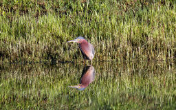 Little Green Heron with pond Reflection Royalty Free Stock Image
