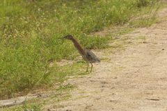 Little green heron stretching its neck at Orlando Wetlands Park. stock photo