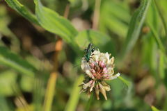A little green insect that eats nectar in flowers Royalty Free Stock Photography