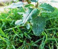 Little green leaves` plant among lawn at sunlight Royalty Free Stock Photos