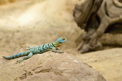 Little Green Lizard Royalty Free Stock Photos