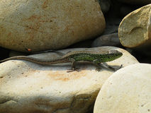 Little green lizard crawling on rocks and basking in the sun Royalty Free Stock Photos