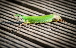 Lizard catches some sun on the dock. Little green lizard, stop moving, watching in the distance, sunbathing on the dock stock photos