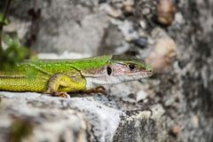 Lizard catches some sun on the rock. Little green lizard, stop moving, watching in the distance, sunbathing on the rocks royalty free stock image