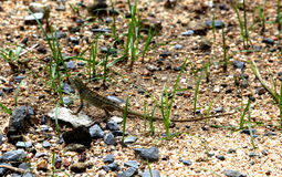 Little green long-tailed lizard. In the sand Stock Photo