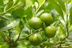 Little green oranges Royalty Free Stock Images