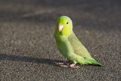 Little Green Parrot Stock Images