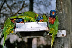Little green parrots. Colorfull birds eating Stock Image