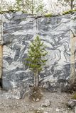 Little Green Pine in front of Black and White Marble Wall in Old. Little Green Pine in front of Black and White Marble Wall in Marble Quarry Royalty Free Stock Photos