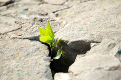Little green plant from grey stones. A little green plant grows from cold grey stones as demonstration of life-energy Royalty Free Stock Photography