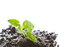Little green seedlings Stock Images