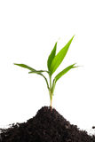 Little green sprout in a soil. Isolated on the white Stock Photos