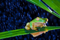 Little green tree frog sitting on green leaf Stock Photos