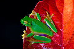 Little green tree frog sitting on red leaf. On black background royalty free stock image