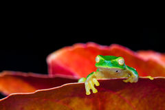 Little green tree frog sitting on red leaf Royalty Free Stock Photo