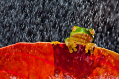 Little green tree frog sitting on red leaf Stock Photo
