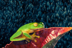 Little green tree frog sitting on red leaf. In rain stock photo