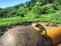 Little green tree toad sunbathes on rusty ball Royalty Free Stock Photo