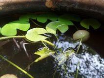 Little green waterlily leaves in clear water. Waterlily in  clear water with reflection of big tree in the water plant clay basin in tropical garden Stock Image