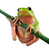 Little green wood frog Royalty Free Stock Photo