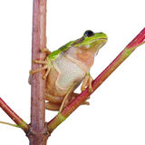 Little green wood frog Royalty Free Stock Photos
