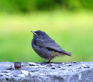Little grey black bird on the green background Stock Photo