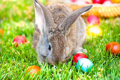 Little grey bunny playing in the grass with easter eggs Stock Image