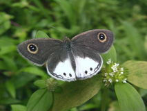 White Four Ring Butterfly Stock Photo
