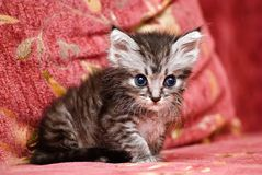 Little grey cat Stock Image