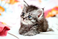 Little grey cat Royalty Free Stock Images