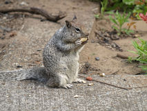 Little Grey Digger Squirrel Royalty Free Stock Image